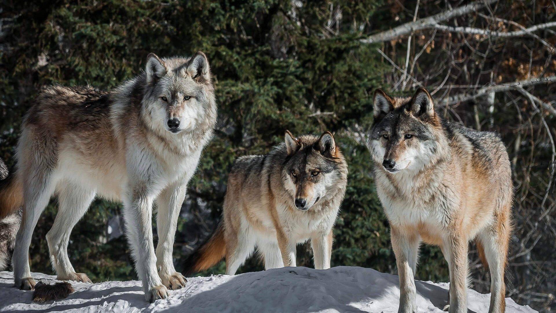 Wolves at the International Wolf Center