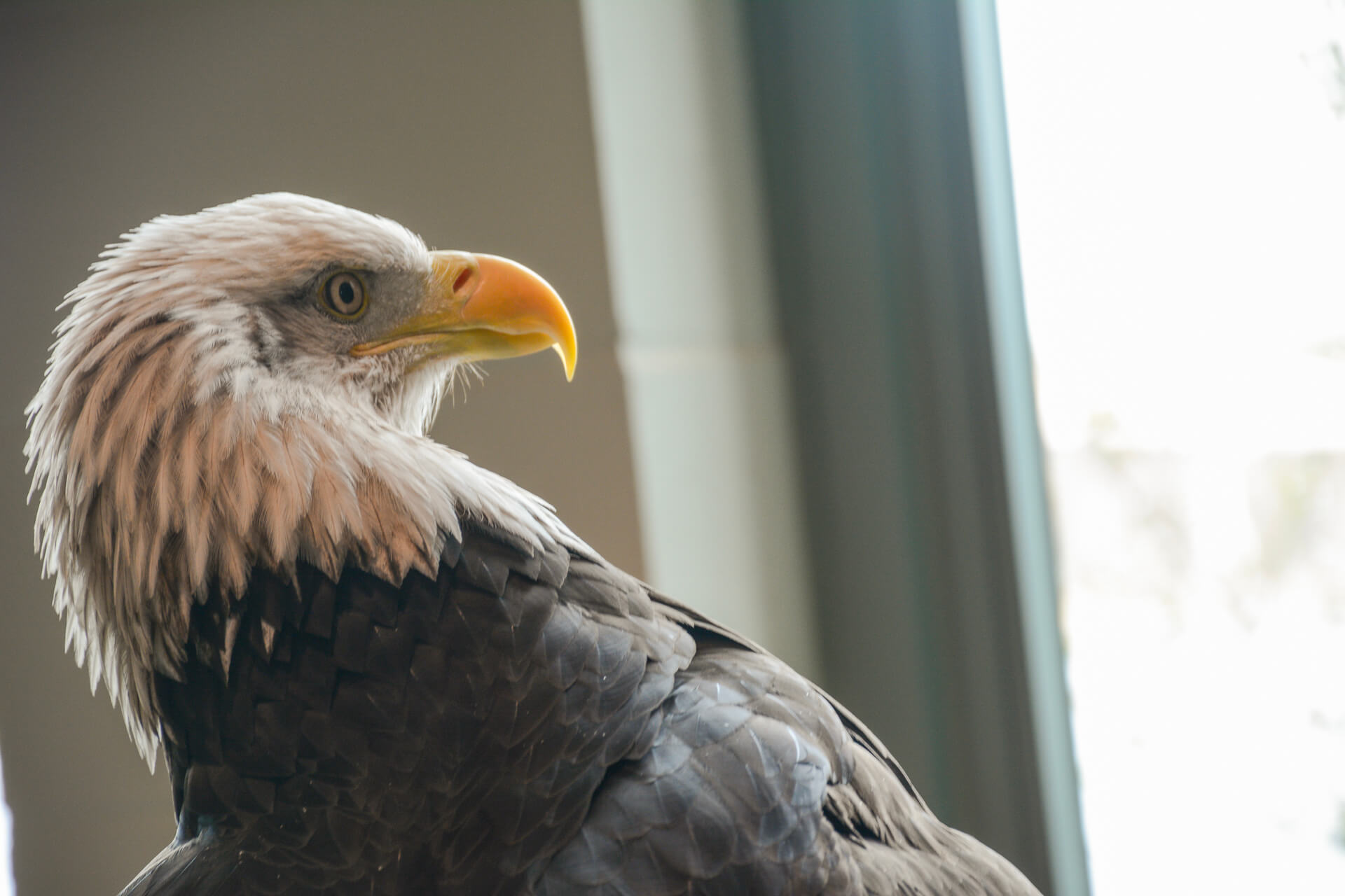 Bald eagle at National Eagle Center, Wabasha Minnesota