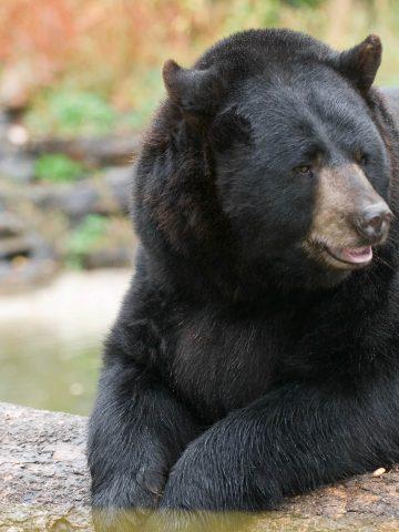 International Bear Center
